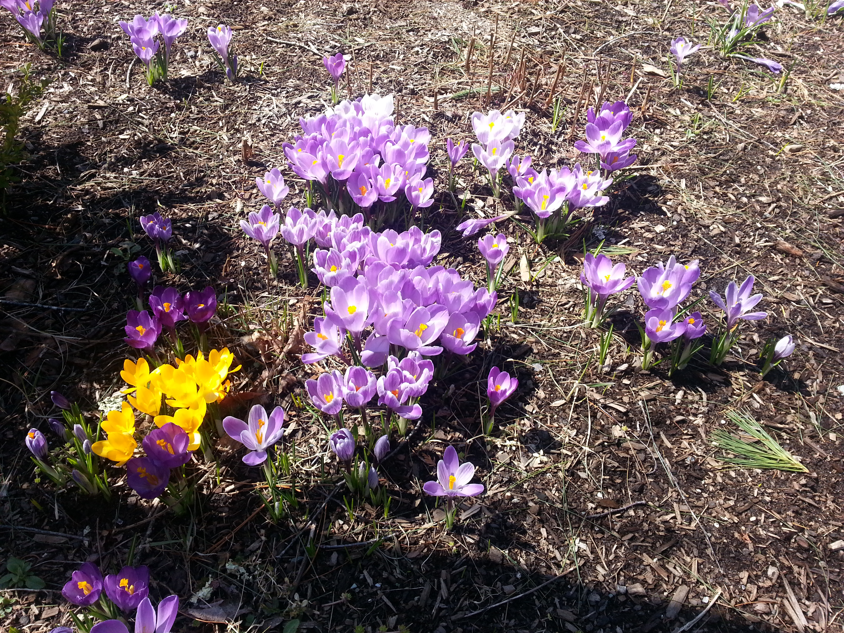 Crocuses bloom at last after a cold Maine winter. (c) Karen Hammond
